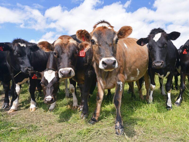 Dairy lobbies for tariff free UK FTA