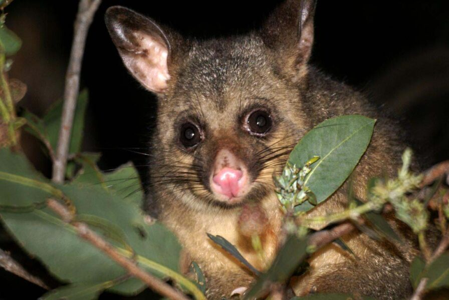 Possum meat popularity drives company expansion