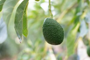 NZ avocado sector to top $200m