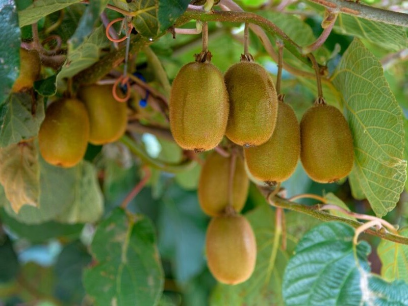 Gold kiwifruit overtakes green
