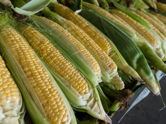 GE corn approved by food safety regulators prompts warning