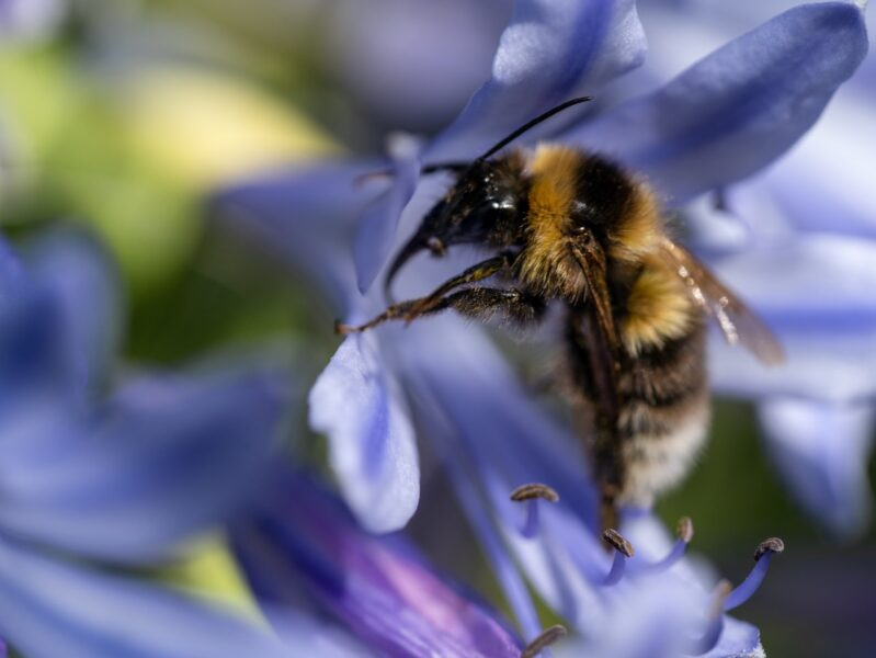 New research aims to boost longevity of bees for growers