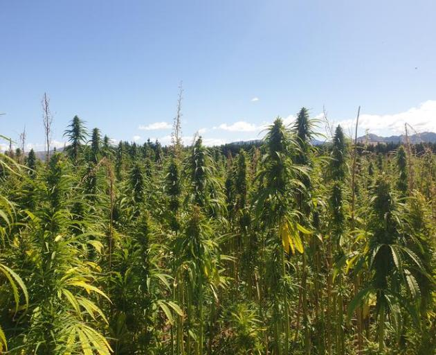 MPI looks at export potential of hemp