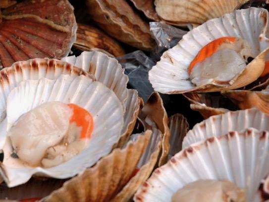 Iwi requests closure of Coromandel coast to scallop harvesting
