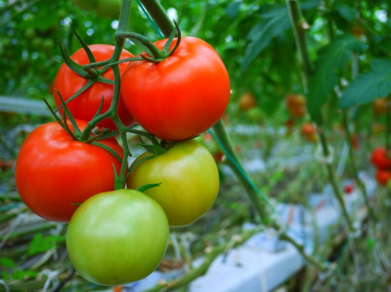 Crop registration app launched for tomato growers