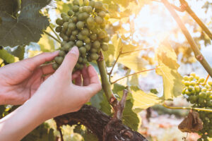 Reduced volume, increased quality for winemakers – Babich