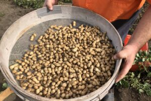 Pic's wins with NZ-grown peanut trial